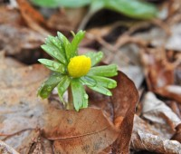 first-eranthis-2-23-12
