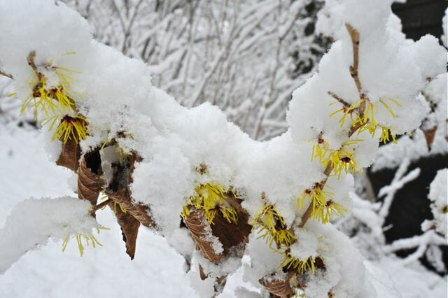hamamelis in snow