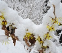 hamamelis-in-snow