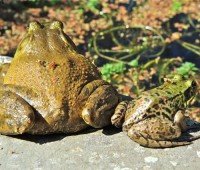 bullfrog and green frog