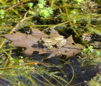 tiny-frog-floating-on-oakleaf