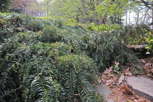 Prostrate plum yew or Cephalotaxus spilling over garden wall