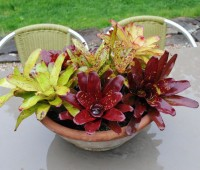 bowl of bromeliads