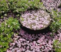 cherry-blossom-joy-689b2a903a57a2be768af06c1bdd9a4065077fdb