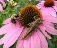 echinacea-bee-grasshopper-ecb2b99d9e5052141933495b99a32a595f500fda