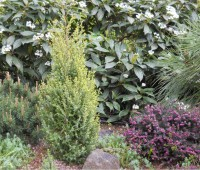 juniperus-gold-cone-sm-3f01267b3b68f5965aa57314eadac1a27f0ba9d7