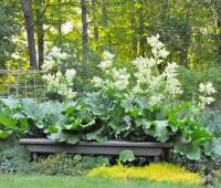 rhubarb-2012-garden