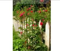 roses-free-reign-jeanne-illenye-7629a97440371d79cd1e222cd01486df6d727817