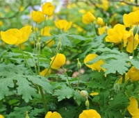 The native celandine poppy, Stylophorum diphyllum, with an effusion of spring gold flowers.