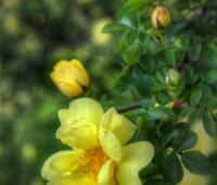yellow-rose-low-rez-feb056f480ea15ee1338d345fb1aa4fe9705b10a