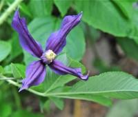 clematis-integrifolia-perhaps