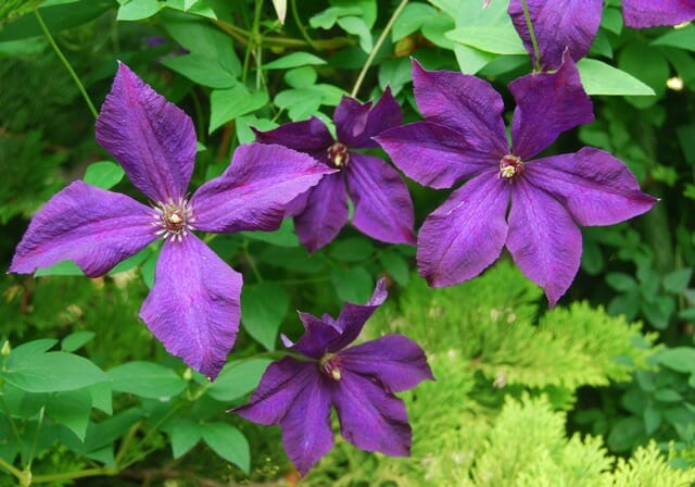 slideshow name that flowering clematis vine a way to. Black Bedroom Furniture Sets. Home Design Ideas