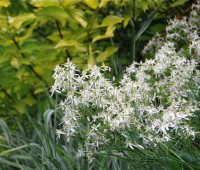 clematis-recta-flowers