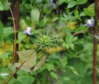 clematis-seedhead-unripe