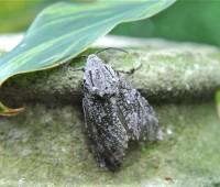 robin's carpenterworm moth