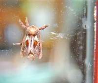 spiny-oak-slug-moth
