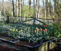 tulips in the cutting garden