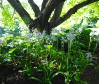 hyacinthoides-hispanica-excelsior