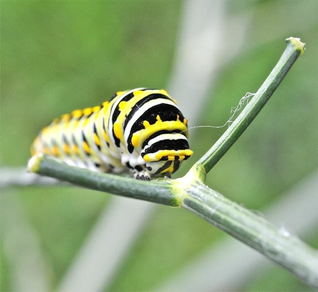black-swallowtail-caterpillar-closeup