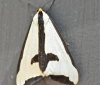 clymene-moth