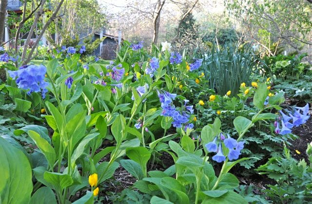 Virginia bluebells, Mertensia virginica