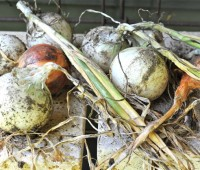 onions-on-back-porch