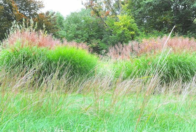 bluestem and miscanthus