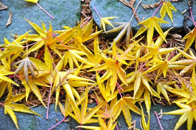 fallen maple foliage