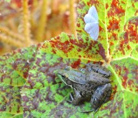 frog and moth nesting in begonia leaf