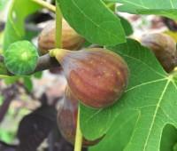 ripening-figs