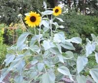 silverleaf-sunflower-helianthus-argophyllus