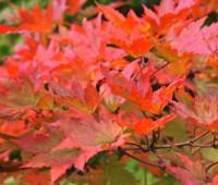 acer pseudosieboldianum fall color