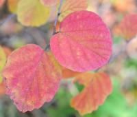 fothergilla-leaves-october