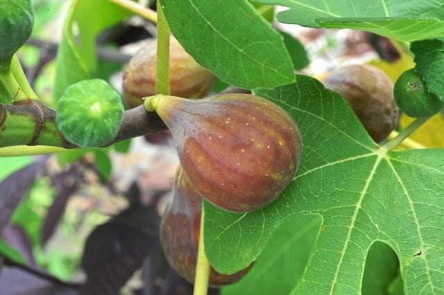 How To Overwinter A Potted Fig A Way To Garden