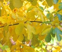 sassafrass-leaves-october
