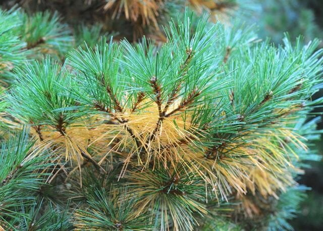 inner needles of white pine turning yellow and brown