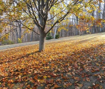 Fallen leaves under copper beech
