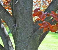 trunk of copper beech
