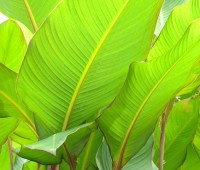 canna-grande-or-musafolia