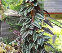 cissus-discolor-or-rex-begonia-vine