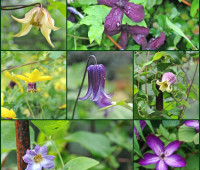 clematis-collage