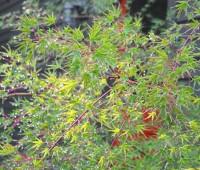 japanese-maple-leaves-in-rain