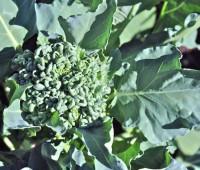 piracicaba-broccoli