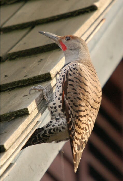 Northern Flicker by Tom Grey