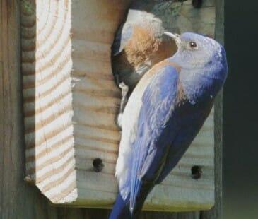 Western Bluebird pair © Tom Grey