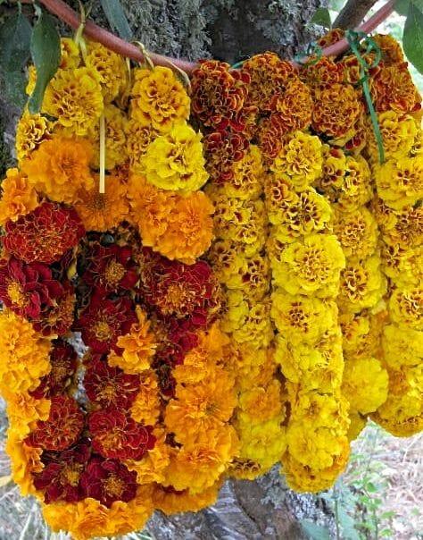 marigold leis peace seedlings