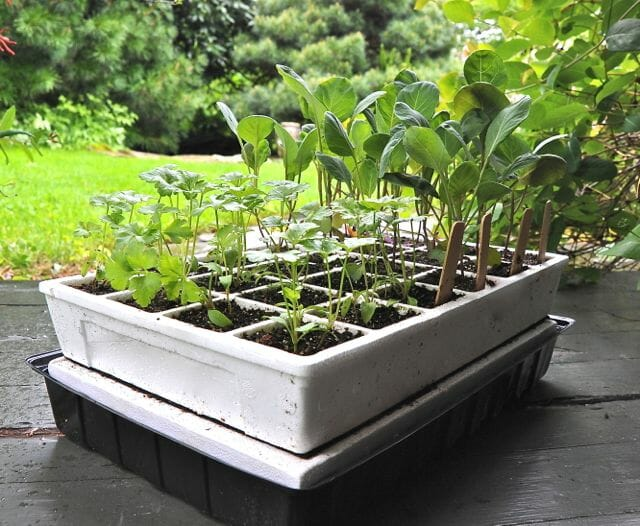 Parsley and Brussels sprouts seedlings ready for transplant