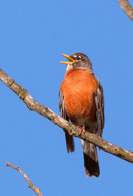 American Robin male © Tom Grey