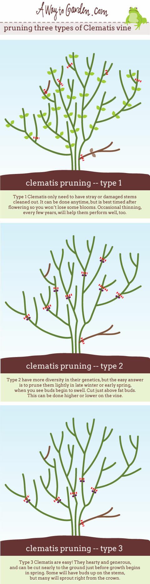 Clematis-pruning-pinterest