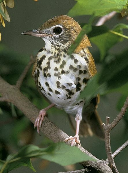 Wood Thrush by Steve Maslowski